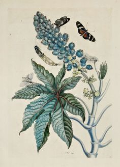 Maria Sibylla Merian - Racinis Butterfly, Greater Sacktail, Castor Oil Plant