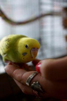 my parakeet Picasso  #spoonring #bird #ring #budgie #animal #yellow #love #parakeet