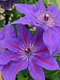 Perennials That Attract Hummingbirds to Your Garden! Edda Clematis, 16 Perennials That Attract Hummingbirds to Your Garden! Edda Clematis, 16 Perennials That Attract Hummingbirds to Your Garden! Hummingbird Flowers, Hummingbird Garden, Flowers That Attract Hummingbirds, Garden Catalogs, Clematis Vine, Clematis Plants, Clematis Flower, Cactus, Flowering Vines