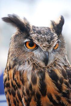 Wild Animals Photos, Owl Photos, Owl Pictures, Beautiful Owl, Animals Beautiful, Owl Bird, Pet Birds, Buho Tattoo, Eurasian Eagle Owl