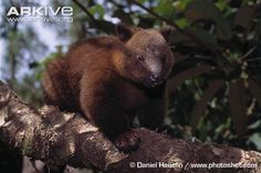 Doria's tree kangaroo (Dendrolagus dorianus) Doria's tree kangaroo, the heaviest tree-dwelling marsupial in the world , is, despite appearances, closely related to the well-known kangaroos that can be found on the plains of Australia.