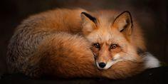 Пазлы онлайн. Страница 2 Red Fox, Puzzle, Animals, Decor, Puzzles, Animales, Decoration, Animaux, Animal