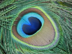 peacock colors - Google Search