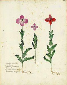 Botanical – Flower – Carnation – Italian (7)