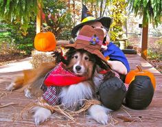 Sheltie scarecrow : Shelties are such good sports! ❤