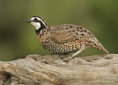 Northern Bobwhite Colinus virginianus - Google Search