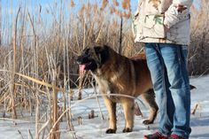 Leonberger pups for adoption from fishburn Homestead & Kennel Giant Schnauzer, Family Dogs, Puppies For Sale, Poodle, Homestead, Teddy Bear, Website, Poodles, Teddy Bears