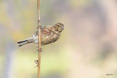 Pardillo - Common linnet by Rafael_Sanchez_Sanchez via http://ift.tt/2c2VYle