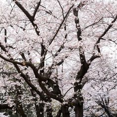 Cherry blossoms..
