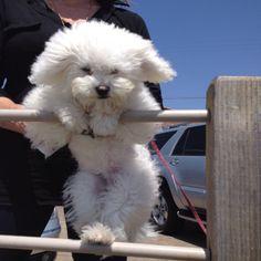 Enjoying the breeze #maltipoo #missmazie #puppy