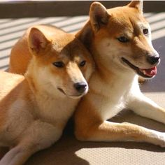 Soul mate :) Cute Dogs And Puppies, Doggies, Animals And Pets, Cute Animals, Soulmate Signs, Chow Chow, Shiba Inu, Akita, Consciousness