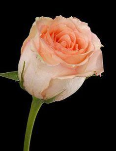 Versilia 50 cm Fresh Roses.: