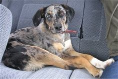 "Catahoula Leopard Dog - Awesome, versatile, hearty breed - our first foster was a ""houla!"