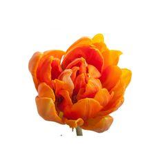 Orange Double Bloom Tulip -- 20 stems for $69.99