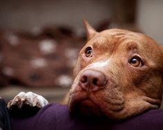 pitbulls portraits | cachedamerican pitbull dog portrait graffiti 14 weeks pregnant with ...
