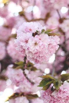 Korean azaleas...