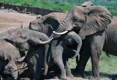 Elephants help an elephant calf up a slope after fording the Ewaso Nyiro river in Samburu game reserve on May 8, 2013. UNEP goodwill ambassador and Chinese actress Li Bingbing was on an official visit in Kenya to highlight issues of Africa's poaching crisis. (CARL DE SOUZA/AFP/Getty Images)