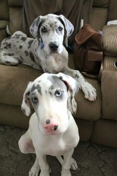 Two baby Danes