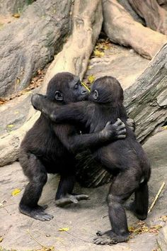 Gorilla Baby Hug Party ~ The photographer writes, baby Gorillas at the Bronx Zoo hug it out after a game of tag around the fallen tree stump. The Animals, Cute Baby Animals, Funny Animals, Wild Animals, Party Animals, Strange Animals, Primates, Mammals, Animal Hugs