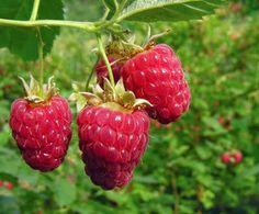 growing raspberries in NW