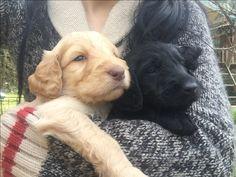 Labradoodle pups 4 weeks