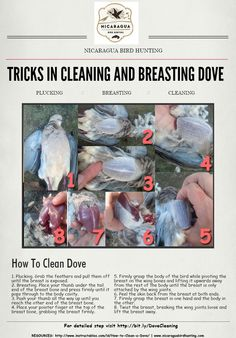 Tricks in Cleaning and Breasting a Dove without Using a Knife  Quick steps how to clean to pluck and breast the dove without using knife while you are in field.