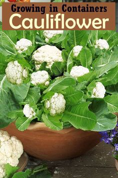 Growing Cauliflower in Containers   Care & How to Grow Cauliflower in Containers