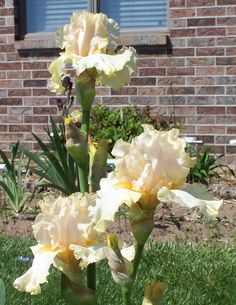 Comanche Acres Iris Gardens - Gower, MO - Charismatic-Tall Bearded Iris