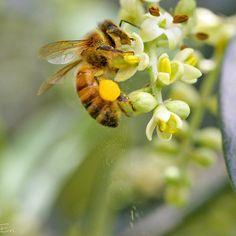 Playing with my macro lens today I've captured this amazing action of a bee collecting pollen from the olive tree in front of our house and dropping it a bit  Giocando con la mia lente macro oggi sono riuscito a fotografare quest'ape che prendeva del polline dai fiori dell'ulivo di fronte a casa perdendone qualche granello .  #bee #bees #pollen #polline #ape #api #collecting #honet #olive #ulivo #natura #ig_nature nature #ig_insect #insetti #insetto #insect_perfection #francescoadventures…