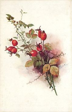 Old Design Shop ~ free digital image: vintage Tuck's Wild Berries postcard Vintage Botanical Prints, Botanical Art, Vintage Images, Vintage Art, Watercolor Flowers, Watercolor Art, China Painting, Floral Illustrations, Vintage Flowers