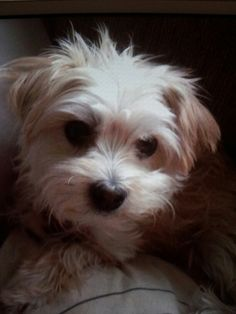 Our beautiful Nancy x morkie x