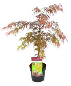 Beautiful Dark Red Green Leaved Japanese Bonsai Maple Seed Purify The Air Absorb Harmful Gases 10 Pcs / Bag Very Easy Grow Buy Plants, Plants Online, Order Flowers, Bulb Flowers, Outdoor Plants, Dark Red, Red Green, Bonsai, Planting Flowers