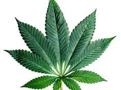 Fan9 Cannabis Leaf High Quality Photo Print by RealLeafGallery