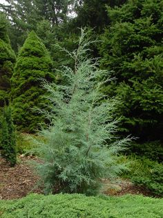 Cupressus 'Carolina Sapphire' | Fast Growing Evergreens for Quick Privacy > http://hubpages.com/living/Fast-Growing-Evergreens-for-Quick-Privacy