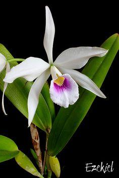 Cattleya (Laelia) purpurata f. anelata par Eddy | Cattleya (… | Flickr