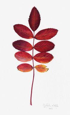 Belinda Noble - Botanical Artist Gallery of work for sale