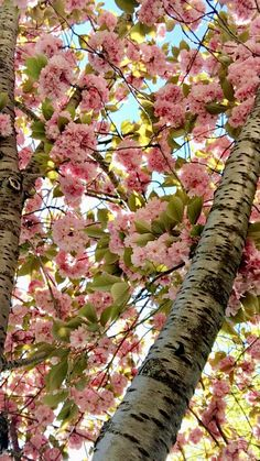 Prunus Serrulata  (photo taken in Istanbul)