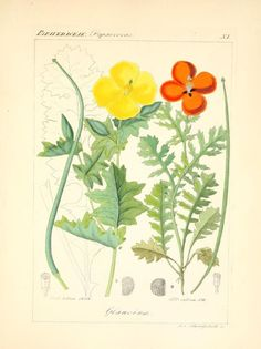 Poppies.Illustrations taken from 'Icones Florae Germanicae et...