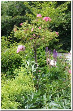Polar Joy Tree Rose
