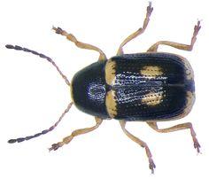 Family: Chrysomelidae Size: 1.5-2.5 mm Distribution: Southern Europe, Central Europe, southern Location: Italy, Trento, Lake Cavedine leg.det. G.Rößler, 1988 Photo: U.Schmidt, 2007
