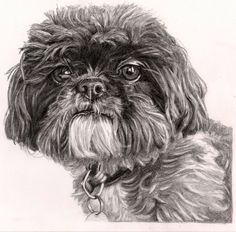 Pencil drawing of Shih Tzu by Sharon Hall of FaceArt Portraits