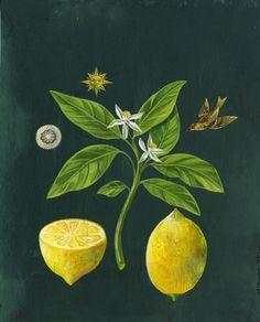 "Olaf  Hajek. Illustrations for Postcards of ""Healing Plants"" for Weleda"