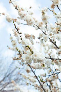 Barcelona, cherry blossom tree