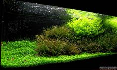 aquarium moss - Google Search