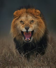 Terrifying Photo of an Angry Lion Just Moments Before it Charged - My Modern Met