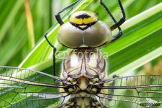 #Blue #Hawker #Dragonfly #Closeup @fotolia @fotoliaDE #fotolia #dragonfly #macro #nature #animals #insects #details #eyes #outdoor #season #spring #summer #wings #stock #photo #portfolio #download #hires #royaltyfree
