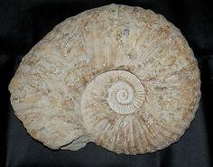 Ammonit 44 cm