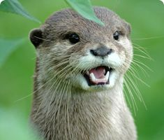 Cotswold Wildlife Park and Gardens | Oriental small-clawed otter