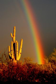 THINK about this one: A bright DESERT  Rainbow streams its light down behind this huge tree-like Saguaro Cactus that is GLOWING GOLD in the light. Research via DdO:) - http://www.pinterest.com/DianaDeeOsborne/sky-lights - It doesn't rain much in the desert. So what was statistical chance of photographer capturing Nature's glory?! This largest cactus in US is only in S Arizona  W Sonora, Mexico; a few in SE Calif. A 10 year old plant might only be 1.5 inches tall- not much rain!