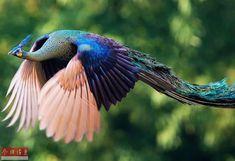 美しすぎる!空を舞う孔雀の貴重なシーン--人民網日本語版--人民日報